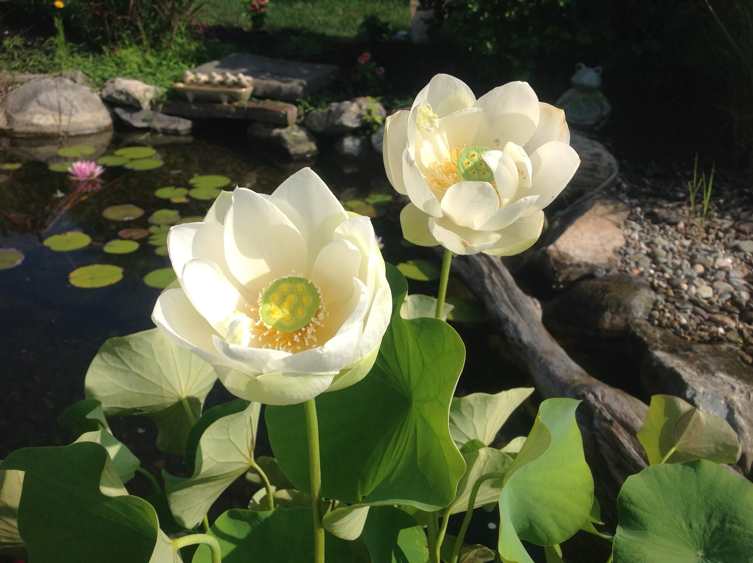 Lotus Flower-NJ